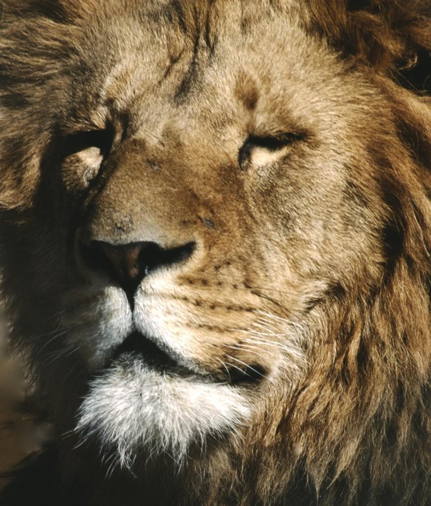 Lejon, Kenya