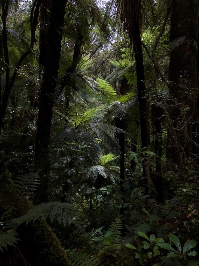 Trädormbunkarnas skog; Nya Zeeland